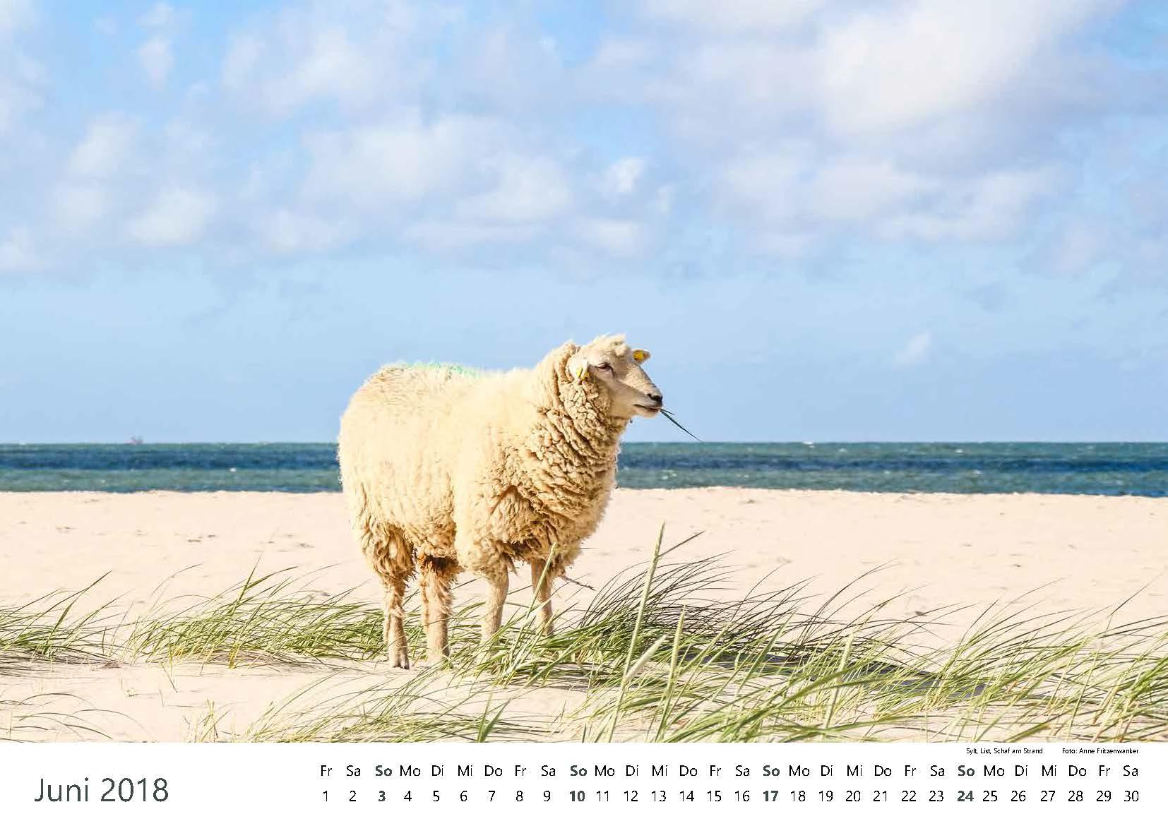 Sylt, List, Schaf am Strand